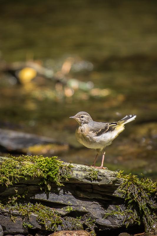 Grey Wagtail fledgling