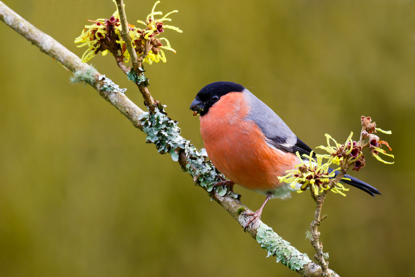 Bullfinch (male)