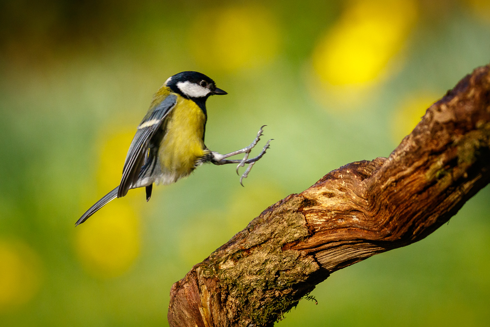Great Tit landing