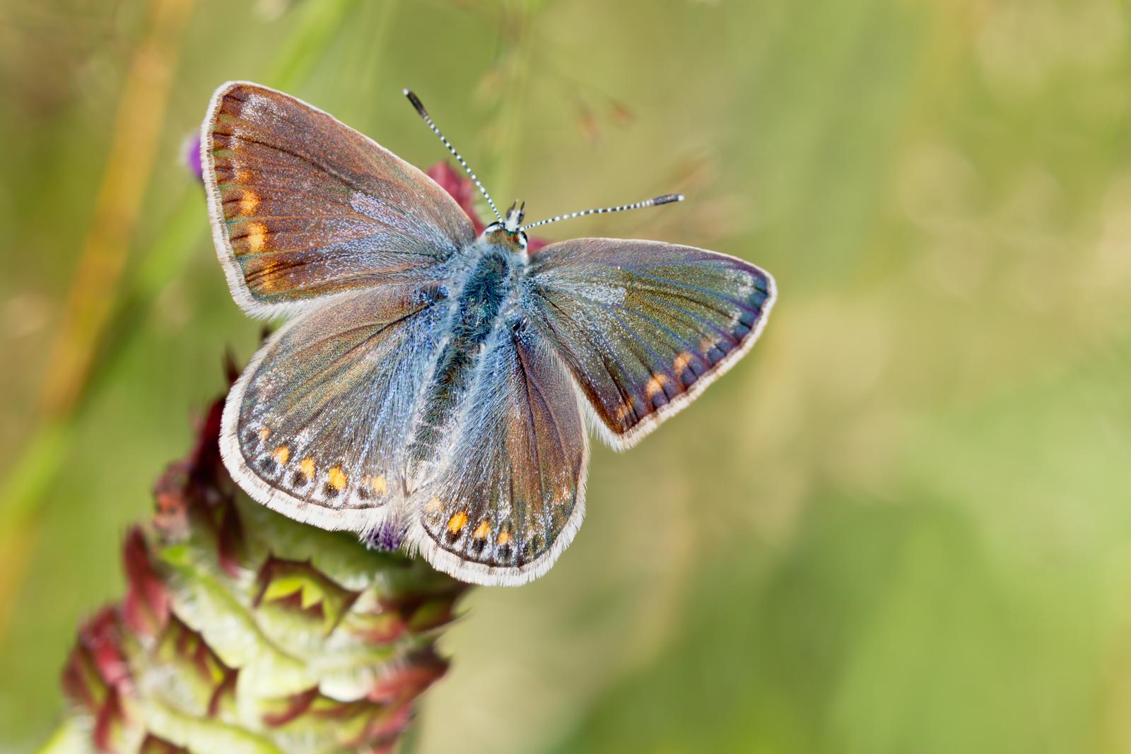 Common Blue (f)