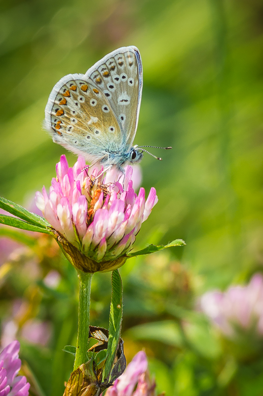 Common Blue (male)