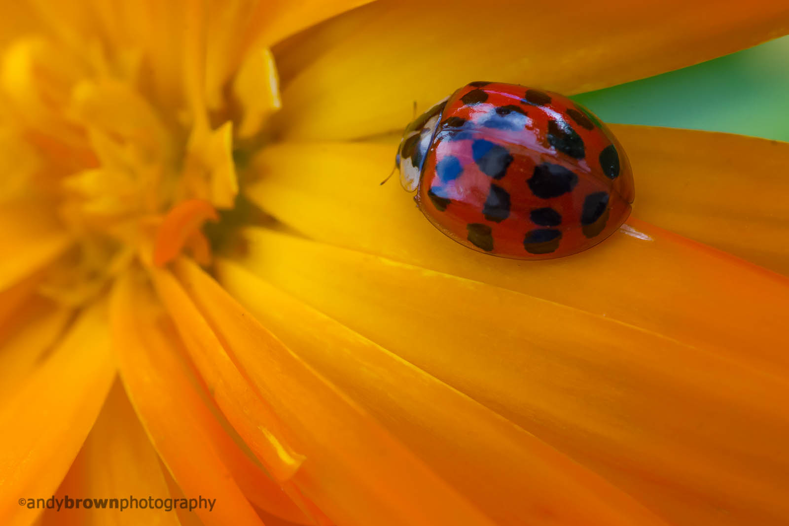 Ladybird on Calendula