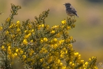 Female Stonechat on Gorse