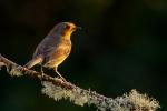 Sunset Robin