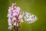Marbled White on Heath Spotted Orchid